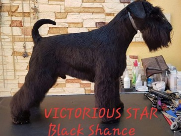 Victorious Star BLACK SHANCE